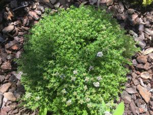 erba aromatica origano