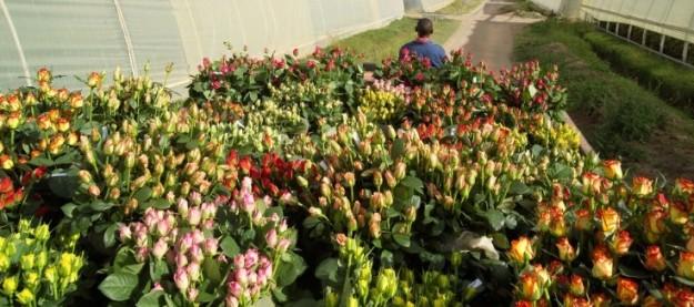 coltivazione delle rose in kenya