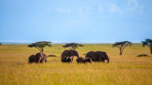 branco di elefanti che stanno camminando nella savana africana
