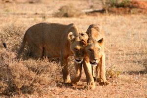 leonesse nella savana che guardano in lontananza