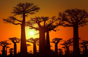 paesaggio del Madagascar al tramonto in cui si sono grandi baobab