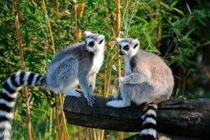lemuri dalla cosa ad anelli del Madagascar poggiati su un tronco di un albero